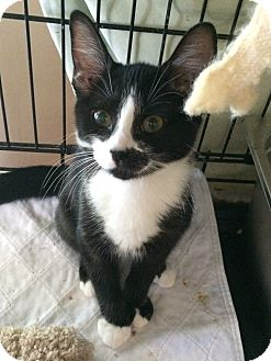 Domestic Shorthair Kitten for adoption in Lunenburg, Massachusetts - cali #3