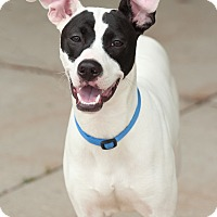Italian Greyhound/Terrier (Unknown Type, Medium) Mix Dog for adoption in Lafayette, Indiana - Porthos