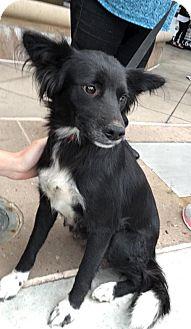 Border Collie/Labrador Retriever Mix Puppy for adoption in Dana Point, California - Licorice