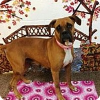 Boxer Dog for adoption in Austin, Texas - Phoebe Cates
