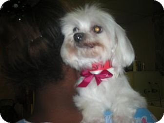 Maltese Dog for adoption in Moreno Valley, California - Toy Maltese