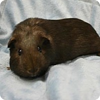 Guinea Pig for adoption in West Des Moines, Iowa - Rizzo