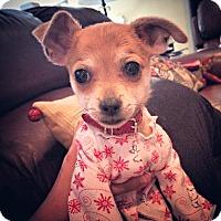 Adopt A Pet :: Dasher is a Chiweenie! - Redondo Beach, CA