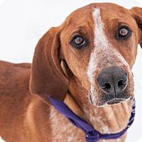 Adopt A Pet :: Pede - Hamilton, MT