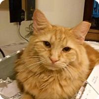 Domestic Mediumhair Cat for adoption in Irwin, Pennsylvania - Jinger