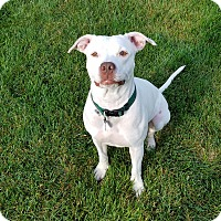 American Bulldog/American Staffordshire Terrier Mix Dog for adoption in Warrenville, Illinois - Rey