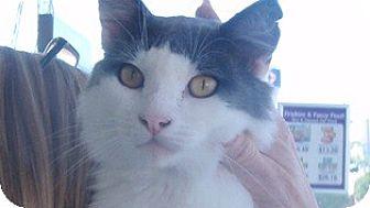 Domestic Mediumhair Cat for adoption in Pasadena, California - Leo