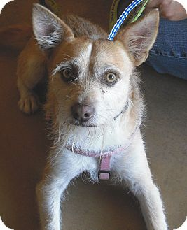 Wirehaired Fox Terrier Mix Dog for adoption in Wickenburg, Arizona - Jax