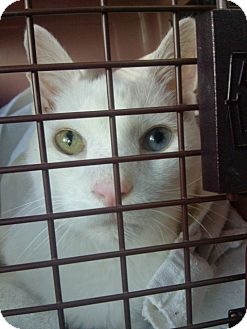 Turkish Angora Cat for adoption in Huntington Station, New York - AMBROSE