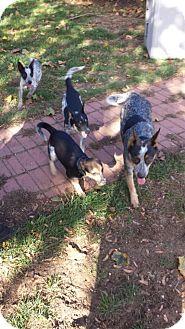 Australian Cattle Dog Dog for adoption in selden, New York - Lani