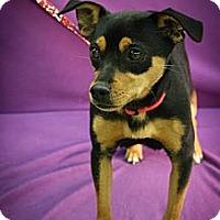 Adopt A Pet :: Minnie - Broomfield, CO
