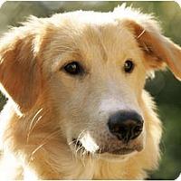 Adopt A Pet :: George - Denver, CO