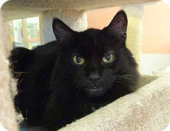 Domestic Mediumhair Cat for adoption in Westville, Indiana - Spookie