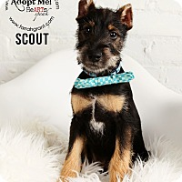 Adopt A Pet :: Scout-Pending Adoption - Omaha, NE
