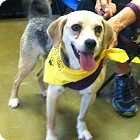 Adopt A Pet :: Lacey - Morganton, NC