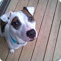 Adopt A Pet :: Brownie - Kimberton, PA