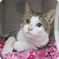 Adopt A Pet :: Eddie Spagetti - Merrifield, VA