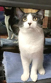 Domestic Shorthair Cat for adoption in Battle Creek, Michigan - Theo