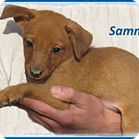 Adopt A Pet :: Sammy- Adoption Pending - Marlborough, MA