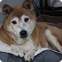 Adopt A Pet :: Kuri - Manassas, VA