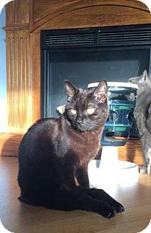 Domestic Shorthair Cat for adoption in Cheltenham, Pennsylvania - Gump
