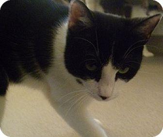 Domestic Shorthair Cat for adoption in Hamburg, New York - Nikolas