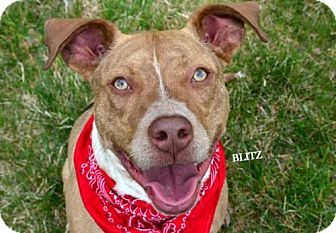 American Pit Bull Terrier/Australian Cattle Dog Mix Dog for adoption in Independence, Missouri - Blitz