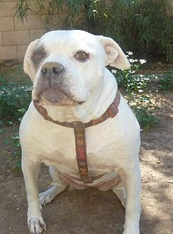 American Bulldog Dog for adoption in Phoenix, Arizona - Daisy