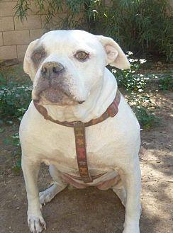 American Bulldog Dog for adoption in Phoenix, Arizona - Daisy