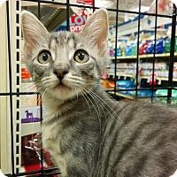 Adopt A Pet :: Lancelot - Hurst, TX