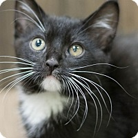 Domestic Shorthair Kitten for adoption in Modesto, California - Winston