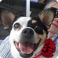Rat Terrier/Corgi Mix Dog for adoption in FOSTER, Rhode Island - DeeDee