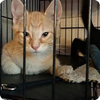Adopt A Pet :: Cheetoh- adoption pending - Hanna City, IL