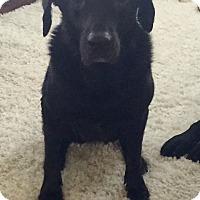 Adopt A Pet :: Felicity - Redmond, WA