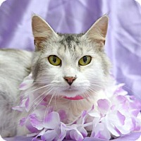 Domestic Mediumhair Cat for adoption in Chattanooga, Tennessee - Audrey Hepburn