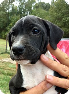 Labrador Retriever Mix Puppy for adoption in East Windsor, Connecticut - Cali-ADOPTION PENDING