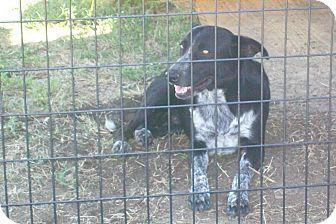Australian Shepherd/Border Collie Mix Dog for adoption in Mexia, Texas - Buddy