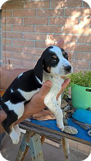 Pointer Mix Puppy for adoption in El Paso, Texas - PUPPIES !!!!!