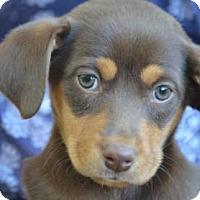 Adopt A Pet :: Hogan - Chester Springs, PA