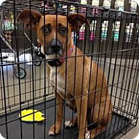 Boxer/Basenji Mix Dog for adoption in El Paso, Texas - Lady