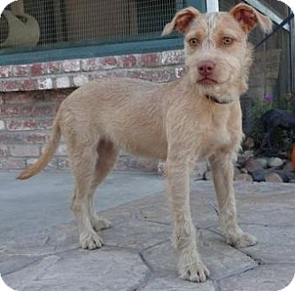 Terrier (Unknown Type, Small) Mix Puppy for adoption in Lathrop, California - Chloe