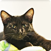 Domestic Shorthair Kitten for adoption in Lincoln, Nebraska - Stanford