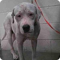 Adopt A Pet :: ATREYU - Conroe, TX