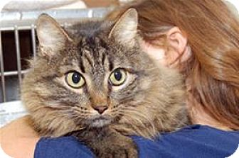 Domestic Mediumhair Cat for adoption in Mountain Home, Arkansas - Mittens