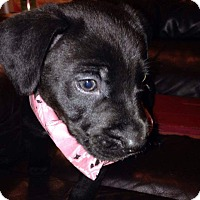 Rottweiler/Pit Bull Terrier Mix Puppy for adoption in Springtown, Texas - Dixie