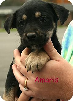 Terrier (Unknown Type, Medium)/Shepherd (Unknown Type) Mix Puppy for adoption in Danbury, Connecticut - Amaris
