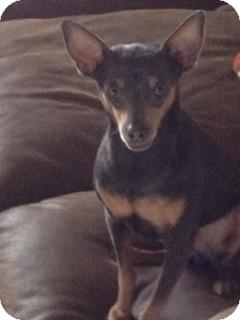 Manchester Terrier/Miniature Pinscher Mix Dog for adoption in Seattle, Washington - JJ