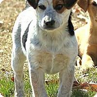 Adopt A Pet :: *Roxy - PENDING - Westport, CT
