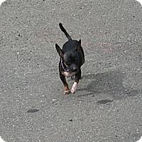 Adopt A Pet :: Pebbeles - Tumwater, WA