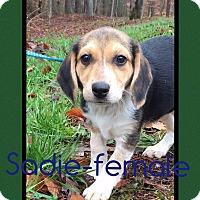 Adopt A Pet :: Sadie (Pom) - Harrisonburg, VA